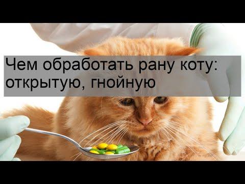 Чем обработать рану коту: открытую, гнойную