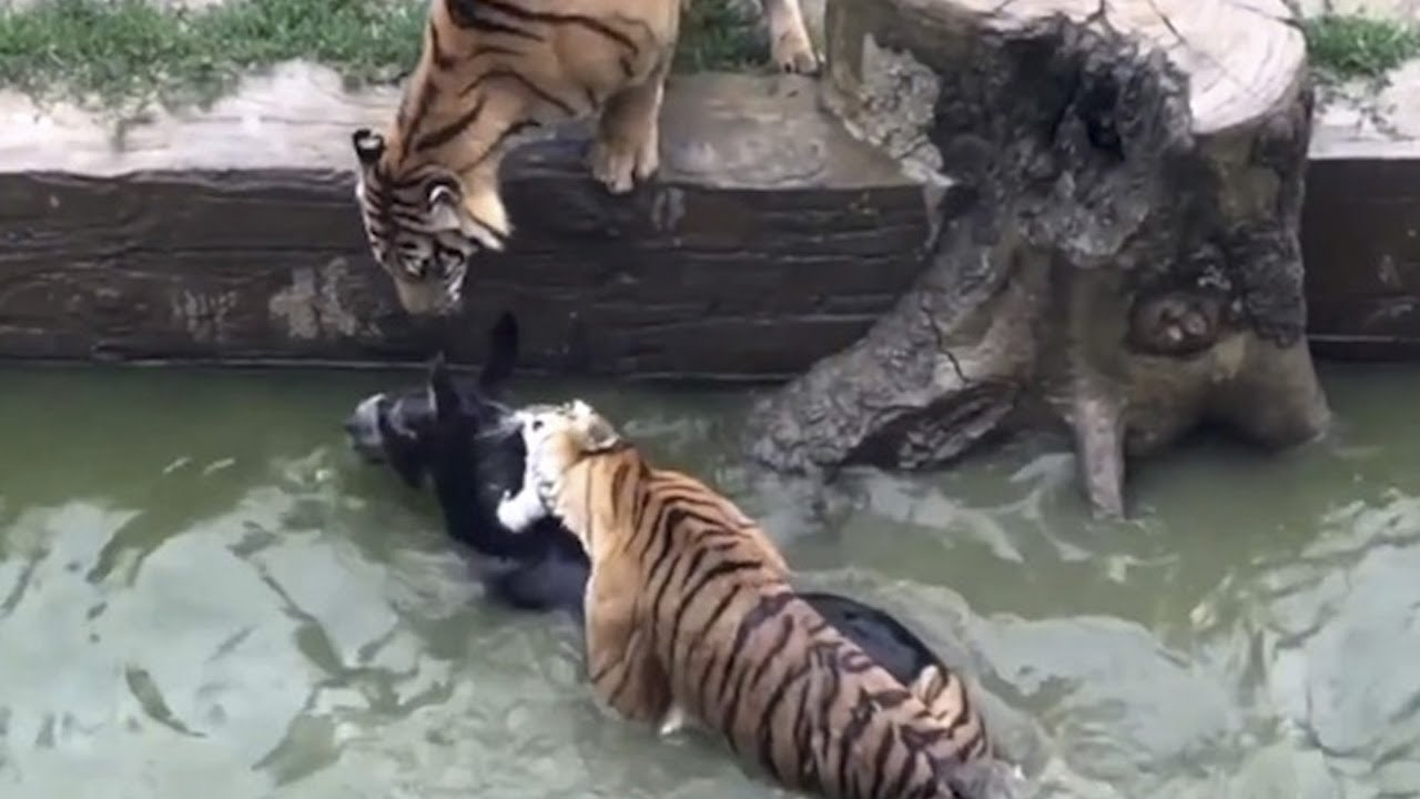 Live Donkey Thrown into Tiger Pit | China Uncensored thumbnail