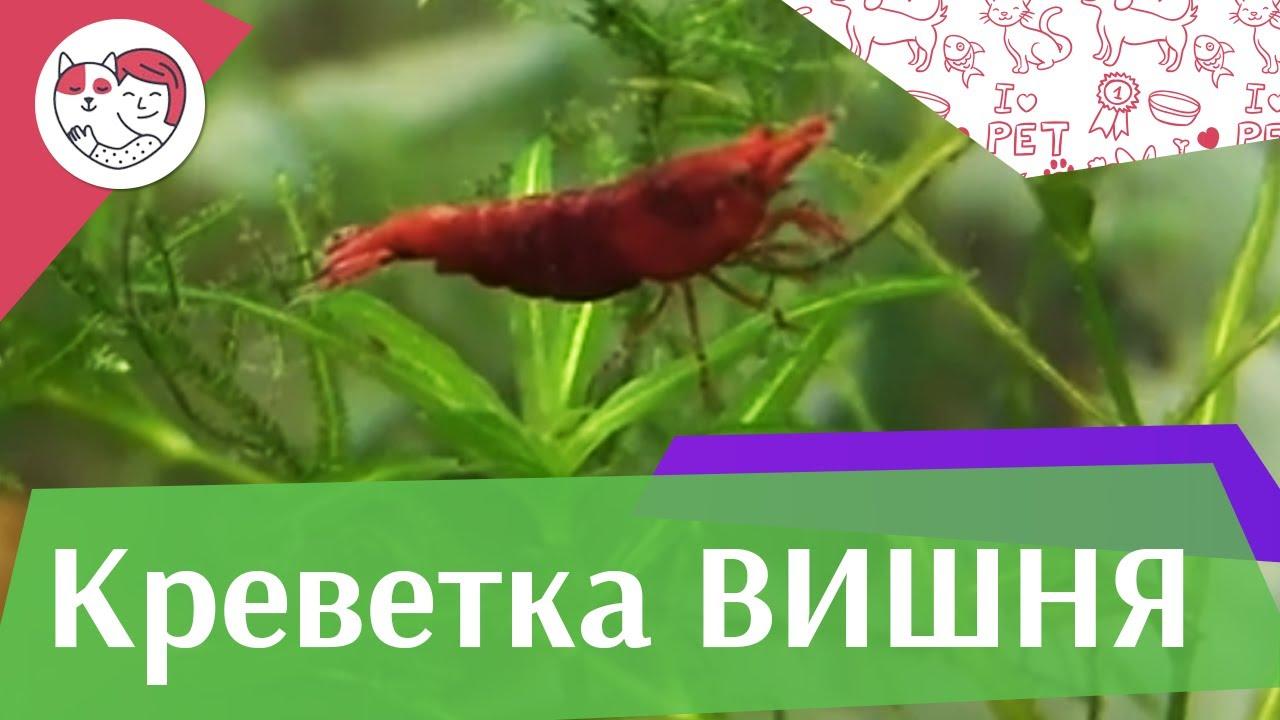 Креветка вишня Кормление на ilikepet