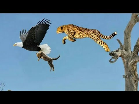 Top 5 best eagle attacks || the best of eagle attacks on human & Animal's