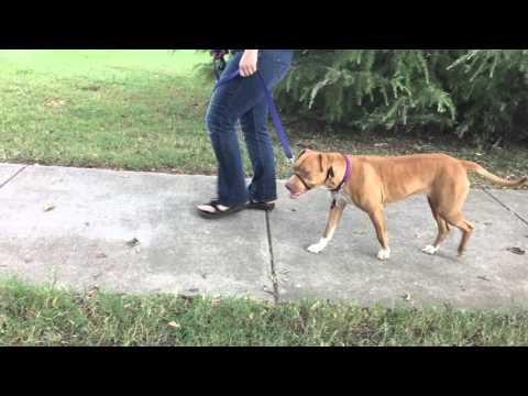 Scully, an adopted American Staffordshire Terrier in Nashville, TN