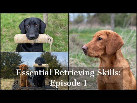 Labrador Retriever   Essential Training Skills Episode 1 - YouTube