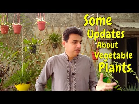 Some Updates About Vegetable Plants | Kitchen Gardening