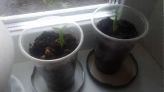 Выращивание адениума из семян с алиэкспресс 15 дней после посадки