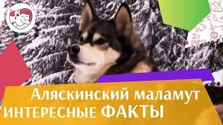 Аляскинский маламут   Интересные  факты на iLikePet