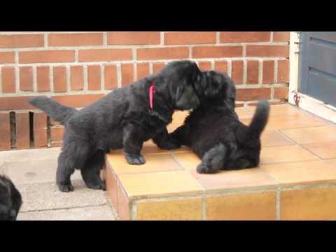 Newfoundlander pups week 5