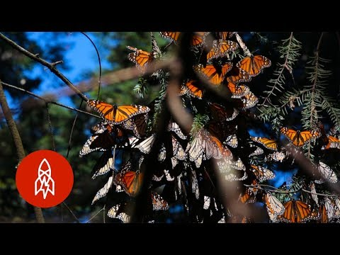 Millions of Monarchs Butterfly's in the Butterfly Forest