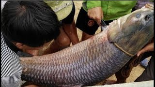 """Cá trắm đen """"khủng"""" nặng hơn 33 kg, dài gần 1 mét sa lưới ngư dân Thanh Hóa"""