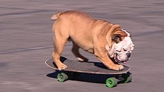 Gambar cover Remembering Tillman, the skateboarding bulldog