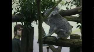 preview picture of video 'Tiegarten Schönbrunn Vienna - Koala'