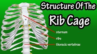 Structure Of The Rib Cage - How Many Ribs In Human Body - What Is The Sternum