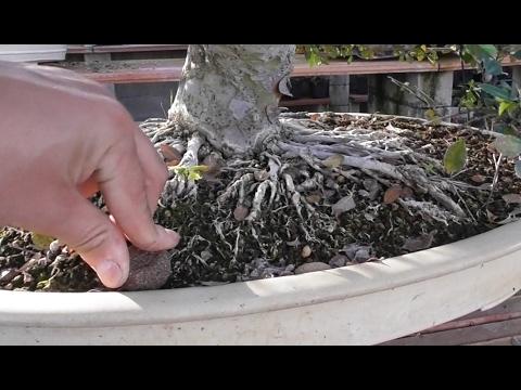 Cuándo abonar un bonsai y cómo