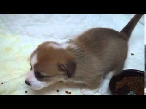 Beverly is a happy Corgi puppy looking for a new home